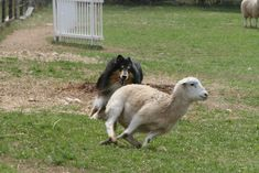 Collie and sheep in action.