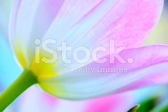 Tulip close-up royalty-free stock photo