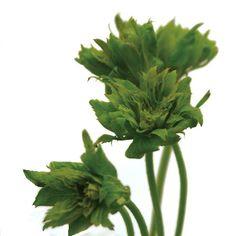 Green Flowers, Parsley, Herbs, Google, Herb, Medicinal Plants