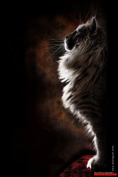 Nordic Sphinx – Norwegian Forest Cat posing like a war god statue or a nordic sphinx   Cute cats HQ Free pictures of funny cats and photo of cute kittens