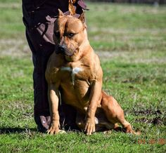 American Bully from Unleashed Kennelz