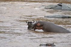 Amazing moment: hippo lifts wildebeest clear of rocks with its mouth in the Masai Mara, Kenya