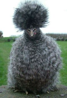 Pour le grand froid :) Silkie Bantam Chickens for Sale Silkie Hen, Silkie Chickens, Chickens And Roosters, Frizzle Chickens, Bantam Chickens For Sale, Fancy Chickens, Chickens Backyard, Beautiful Chickens, Beautiful Birds