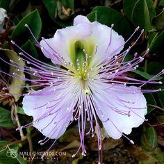 Chrysanthemum, Natural, Plants, Flowers, Plant, Nature, Planets, Chrysanthemum Morifolium, Au Natural