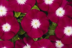 Catharanthus Roseus 'Pacifica' Series Burgundy Halo with White Center