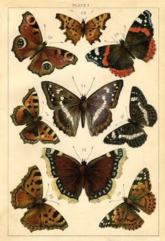 Lovely butterflies from a vintage book -- Instant Art Printable - Antique Butterflies and Moths - The Graphics Fairy Butterfly Images, Orange Butterfly, Vintage Butterfly, Butterfly Art, Paper Butterflies, Beautiful Butterflies, Butterfly Mobile, Vintage Clip Art, Images Vintage