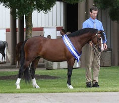 Imported Section B Welsh Pony stallion *Wedderlie Marmaduke.