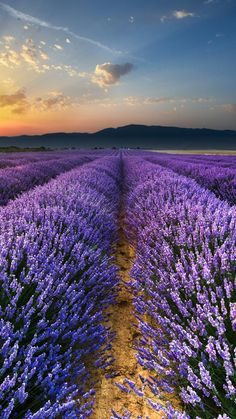 Height Of The Bloom Rolling Lavender Fields Lavender Garden, Lavender Fields, Lavander, Lavender Aesthetic, Purple Aesthetic, Beautiful Places In Japan, Beautiful World, Natur Wallpaper, Landscape Photography