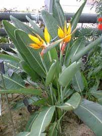 Flor ave del Paraíso, Estrelitzia, Estrelicia, Flor de pájaro, Pájaros de fuego, Flor de la grúa, Flor de pajarito