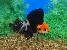 Tri-color Oranda with Butterfly Tail