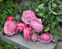 「無農薬でも大丈夫なバラってありますか?」 「手をかけられないので、丈夫なバラ教えてもらえますか?」 という質問、けっこう多いです。  そこで、私たちが無農薬で成功しているバラを紹介します Gardening, Plants, Products, Flowers, Garten, Lawn And Garden, Planters, Garden, Plant