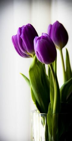 How to Grow Tulips and Other Perennials in Glass Jars in Your Home All Year Tul. How to Grow Tulips and Other Perennials in Glass Jars in Your Home All Year Tulips and other spring bulbe can be grow My Flower, Flower Power, Beautiful Flowers, Simply Beautiful, Flower Ideas, Growing Tulips, How To Grow Tulips, Purple Tulips, Tulips Flowers
