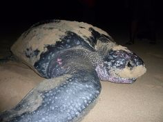 The Leatherbacks lay their eggs at night on several Tortola beaches during the spring, and their eggs hatch 60 to 70 days later. Description from dreamvacation.com. I searched for this on bing.com/images