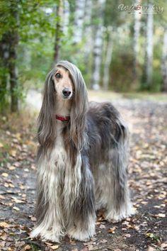 pretty Afghan hound.