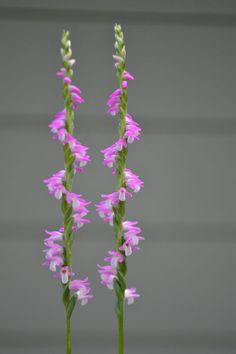 Spiranthes sinensis - spiral orchid (called 'nejibana' in Japan)
