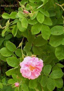 Rosa centifolia La France