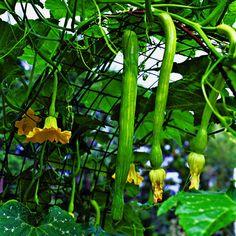 Vertical veggies Squash - Sunset.com