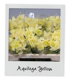 Aquilega Yellow - Holex Insights newsletter week 17