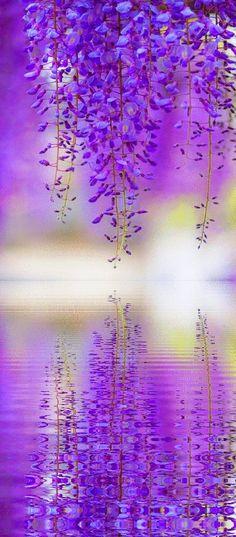 Stunning wisteria