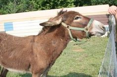 Donkey kong is an adoptable Donkey Donkey in Locust Fork, AL. Sweet donkey looking for a home, he is intact, and he has a great bray. One back leg is alittle stiff. ...