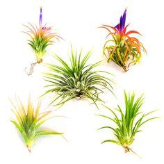 Air Plants – Tillandsia Ionantha – 5 Air Plants at a Great Price!