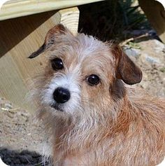 Hagerstown, MD - Parson Russell Terrier/Terrier (Unknown Type, Medium) Mix. Meet Madeline B, a dog for adoption. http://www.adoptapet.com/pet/15104826-hagerstown-maryland-parson-russell-terrier-mix