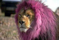 Lol..pink lion