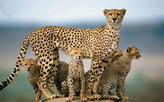 Long, lean cheetah with her cubs. Cheetahs are shaped very differently than other wild cats. Beautiful Cats, Animals Beautiful, Beautiful Family, Animals Amazing, Beautiful Children, Cheetah Family, Cheetah Cubs, Jaguar Leopard, Cheetah Wallpaper