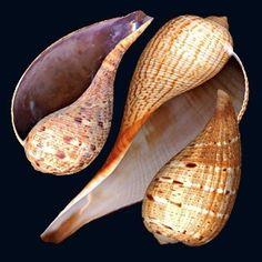 Shells   Conchas - #Shells