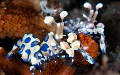 These stunning colourful creatures might look like they're from another    world but they are in fact rarely seen marine life. Underwater photographer,    Colin Marshall, has dedicated more than 15 years to photographing the little    known species on camera and credits his favourite diving spot, Lembeh in    Indonesia, where he has completed more than 500 dives, for some of his best    shots.   Above: A piar of Harlequin shrimp