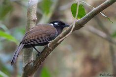Cambodian Laughingthrush (Garrulax ferrarius) Adult perched in a tree | the…