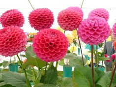 dahlias flowers | Dahlias.jpg