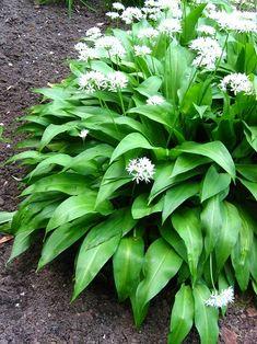 Wild Garlic, Healing Herbs, Allium, Pergola, Flora, Food And Drink, Landscape, Vegetables, Healthy