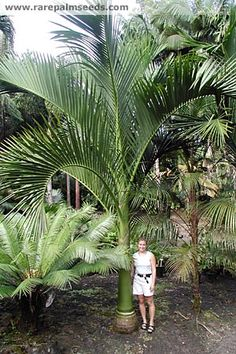Carpoxylon macrospermum - buy seeds at rarepalmseeds.com