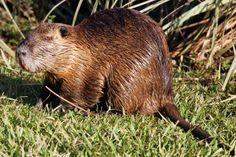 O ratão-do-banhado (Myocastor coypus) é um grande roedor da família dos miocastorídeos, encontrado na América do Sul meridional.  Pelagem marrom-avermelhada, cauda longa e grossa, revestida por escamas e pêlos ralos, vivendo em banhados, lagoas e rios.
