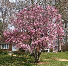 Trees That Flower On Pinterest Magnolias Magnolia Trees