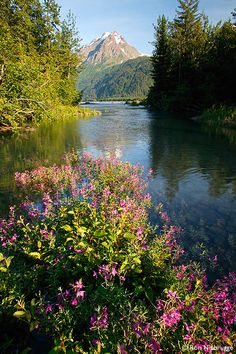 Dwarf Fireweed along the Resurrection River, Chugach National Forest/Kenai Fjords National Park Boundry, Alaska; photo by Ron Niebrugge