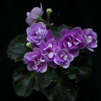 Rob's Lilliputian | (6048) 09/12/1985 (R. Robinson) Double medium blue and white/green edge. Medium green, pointed, glossy girl foliage. Miniature.