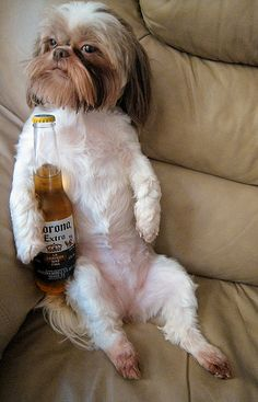 Lucy my Shih Tzu.  Damned Opposable Thumbs...no beer for her!                                                                                                                                                           Damned Opposable Thumbs           ..
