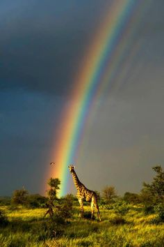 Giraffe and Rainbow on the Savanna