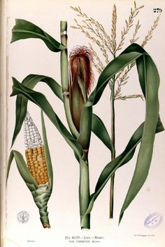 Painting of Corn (Zea Mays), from Flora de Filipinas by F.M. Blanco, published in Manila ca 1880, from the Digital Library of the Real Jardin Botanico, CSIC