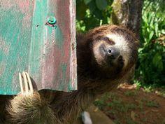 This sloth looks like me every morning when I get up! - La sonrisa del perezoso revelada en 20 fotos impactantes sobre los perezosos 9