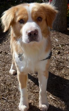 Samson is an adoptable Golden Retriever/Border Collie Mix. Contact Releashed Rescue in Cumming, GA (via Petfinder)