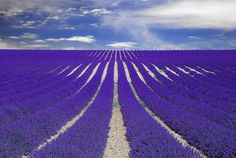 Purple lavender field in Provence, France