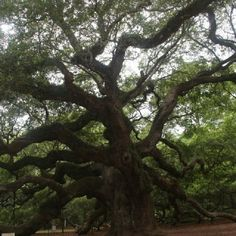 Angel Oak on John's Island, SC
