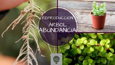 COMO REPRODUCIR ARBOL DE LA ABUNDANCIA  || SUPER FACIL  (PORTULACARIA AFRA)
