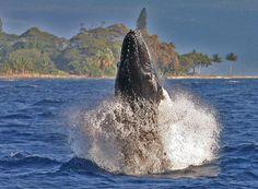 Hawaii Humpback Whale watch