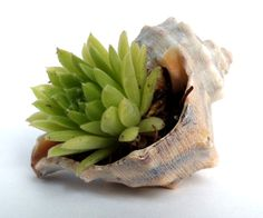 Gleeful Things » Favorite Finds  I love this idea of planting little succulents in shells!