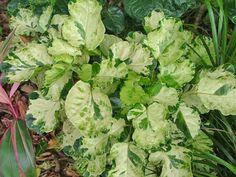 Polyscias balfouriana 'Pennockii' (syn Polyscias scutellaria 'Pennockii')