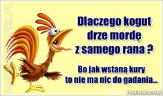 Dlaczego kogut drze mordę z samego rana? Weekend Humor, Funny Mems, Coq, Man Humor, Memes, Funny Pictures, Funny Quotes, Frases, Haha